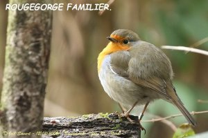 Rouge_gorge_familier_800_IMG_2634B