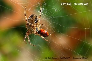 Epeire_diademe_et_coccinelle_IMG_0527S
