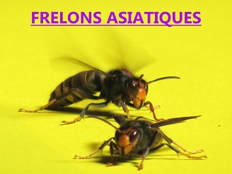frelon_asiatique_jaune_combat