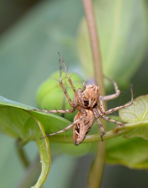 Oxyopes sp
