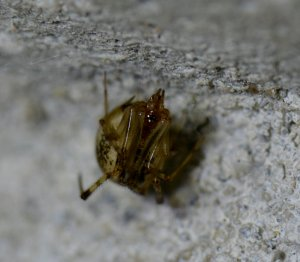 Theriidae sp 1-2