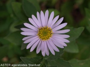 ASTER ageratoides 'Stardust'nomme