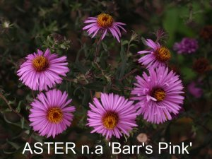 ASTER n.a Barr's Pink'