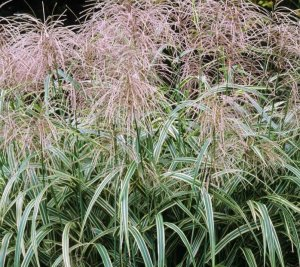 MISCANTHUS sin var cond 'Cosmopolitain'