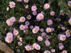 ASTER n.b 'Strawberry and Cream'