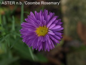 ASTER n.b 'Coombe Rosemary'