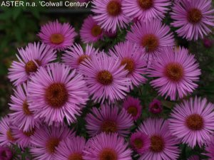 ASTER n.a 'Colwall Century' (3)