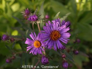 ASTER n.a 'Constance' (2)