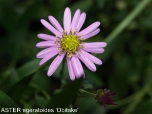 ASTER ageratoides 'Obitake'nomme