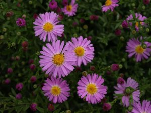 ASTER dumosus 'Countess of Dudley'