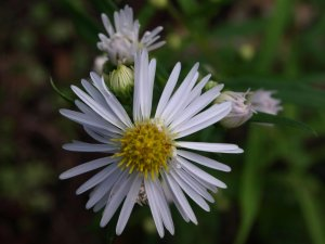 ASTER X 'Yvonne'