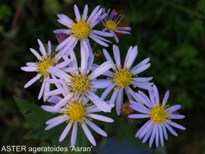 ASTER ageratoides 'Asran' (2)nomme