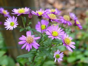 ASTER ageratoides Yubae