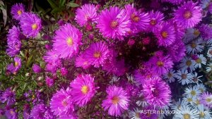 ASTER n.b 'Double Rose d'Anjou' (2)