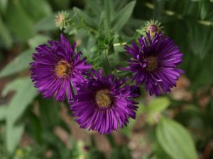 ASTER n.a 'Helen Picton' (2)