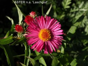 ASTER n.a 'Laschglut' (2)