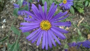 ASTER amellus 'Blue King' (2)