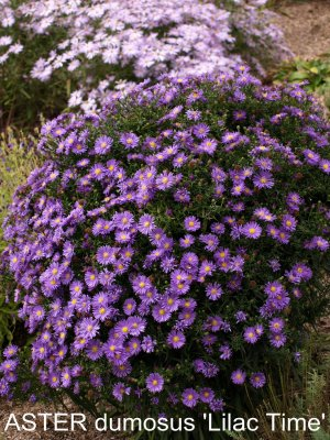 ASTER dumosus 'Lilac Time'