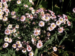 ASTER lateriflorus 'Pink Buttons'
