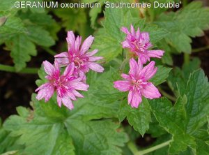 GERANIUM oxonianum 'Southcombe Double'2'