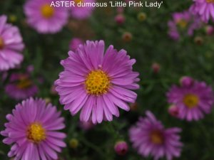ASTER dumosus 'Little Pink Lady' (3)