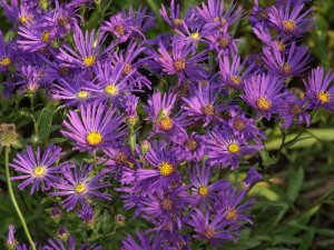 ASTER amellus 'Violet Queen' (1)