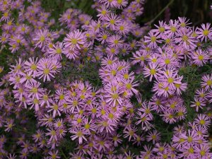ASTER X 'Pink Star' (2)