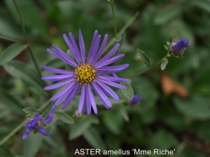 ASTER amellus 'Mme Riche' (2)