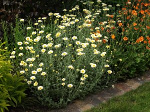 ANTHEMIS tinctoria 'Susanna Mitchell'