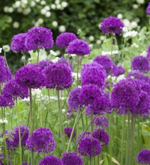 ALLIUM X purple Sensation
