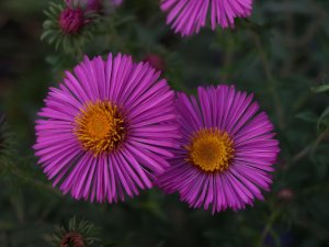 ASTER n.a 'Red Cloud'