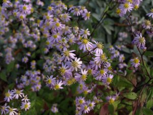 ASTER scaber ' Kyosumi '