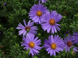 ASTER dumosus 'Early Blue' (3)
