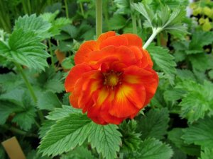 POTENTILLA William ROllison'