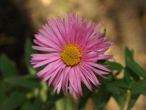 ASTER n.a 'Pinkie'