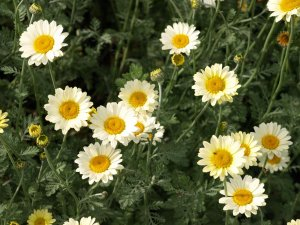 ANTHEMIS tinctoria 'Susanna Mitchell' (2)