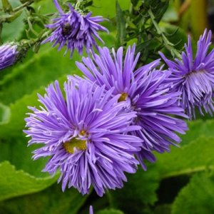 ASTER n.b. 'Percy Thrower'