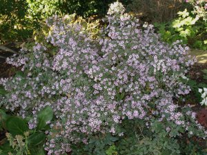 ASTER X 'Coombe Fishacre'