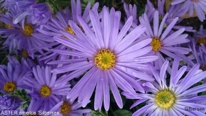 ASTER amellus 'SIlbersee' (2)