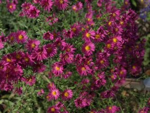 ASTER n.b 'Red Star'