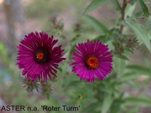 ASTER n.a 'Roter Turn'