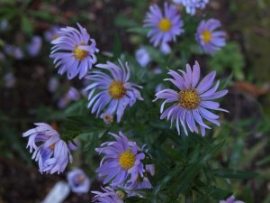 ASTER X 'Noreen' (2)