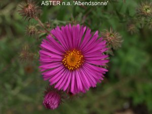 ASTER n.a 'Abendsomme'