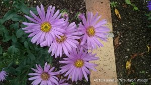 ASTER amellus 'Mrs Ralph Woods' (3)