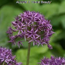 ALLIUM X 'Violet beauty' - Copie