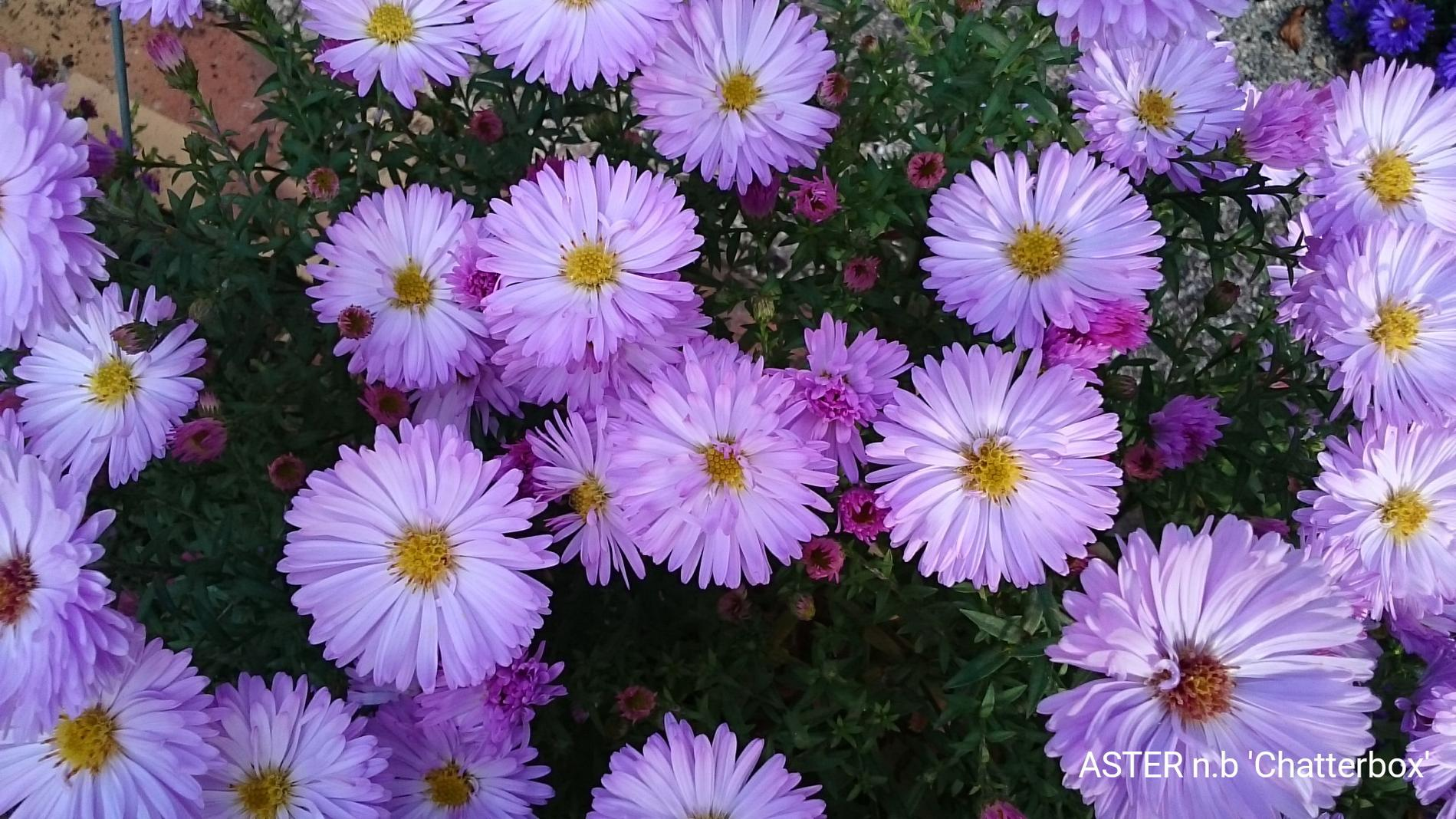ASTER n.b 'Chatterbox'
