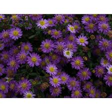ASTER ageratoides Harae